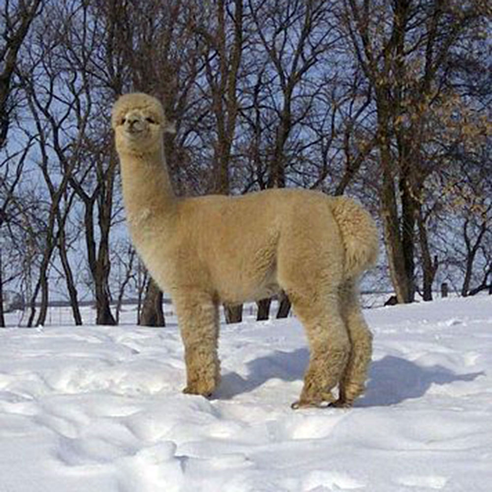 Turtle Mountain Alpacas